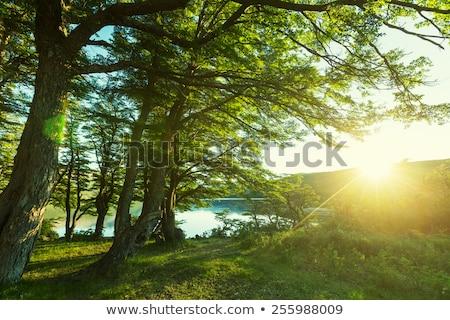 Ağaçlar şaşırtıcı büyük sedir güzel bulutlu Stok fotoğraf © Anna_Om