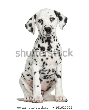 puppy dalmatian Stock photo © cynoclub