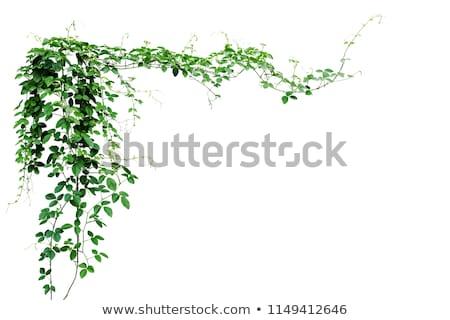 Ivy fiori fresche bella fiore isolato Foto d'archivio © smithore