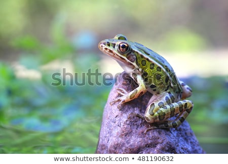 Leopard Frogs Stock photo © macropixel