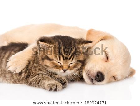 labrador · retriever · puppy · hond · slapen · aanbiddelijk · witte - stockfoto © feedough