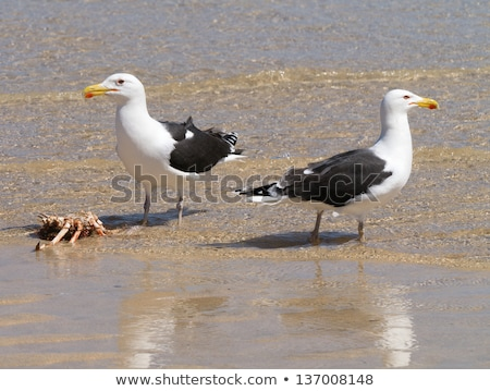 Two Great Black-backed Gulls guarding a crab. Stock photo © latent