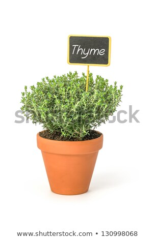 Thyme in a clay pot with a wooden label Stock photo © Zerbor