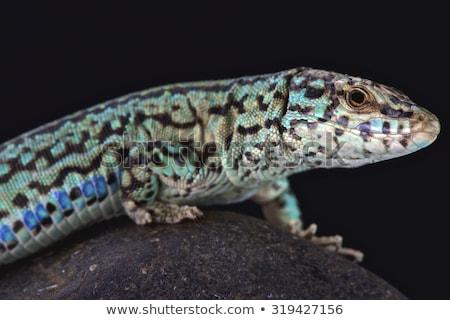 Hagedis gekko oog zwarte kleur tropische Stockfoto © lunamarina
