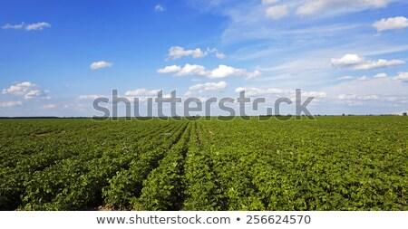 Ziemniaczanej pola naturalnych produktu gospodarstwa Zdjęcia stock © ryhor