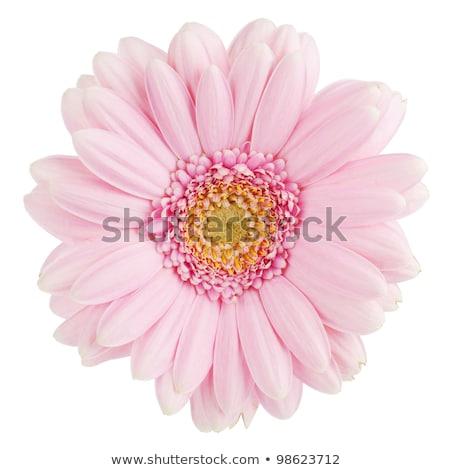 White pink Daisy Flower Stock photo © stocker