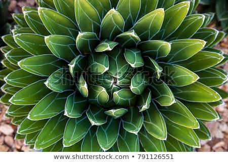 Foto stock: Agave · folha · plantas · jardinagem · flor