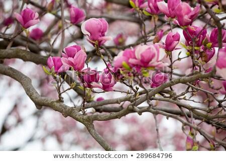 blossom tree sunlit background Stock photo © marimorena