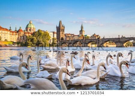 Swans with background of Charles bridge Stock photo © neirfy