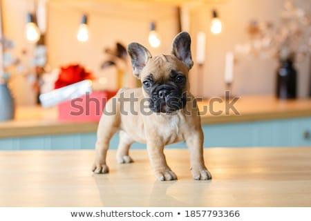 baby french bulldog  Stock photo © OleksandrO