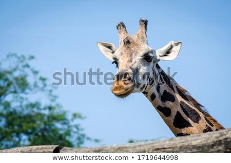 Zsiráf állatkert eszik természet csoport száj Stock fotó © jarin13