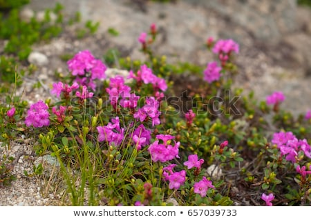 glade blooming rhododendrons in the mountains stock photo © kotenko