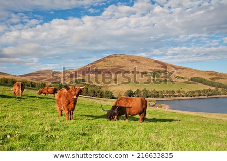 highland aberdeen angus cow grazing green grass stock photo © capturelight