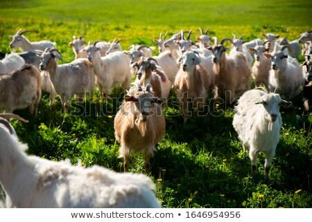 Cabra abierto campos cielo Foto stock © THP