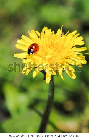 katicabogár · pitypang · izolált · kék · ég · égbolt · virág - stock fotó © kayros