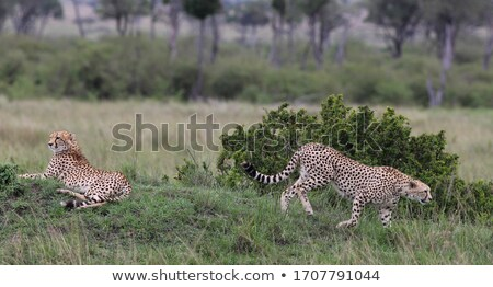 Stockfoto: Two Cheetahs Looking In The Bush