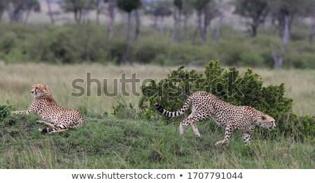 Deux regarder Bush parc Afrique du Sud Afrique Photo stock © simoneeman