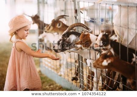 girl feeding goat 2 stock photo © fotoyou