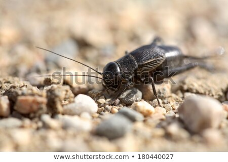 Close up of a cricket on a Saskatchewan country road Stock photo © pictureguy