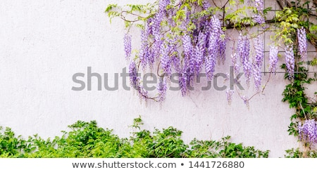 Beautiful purple wisteria flowers in spring stock photo © stefanoventuri