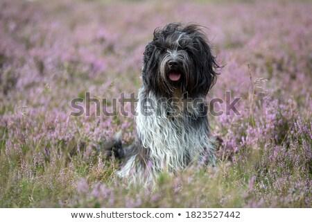 agressief · holland · herder · portret · studio · mond - stockfoto © cynoclub