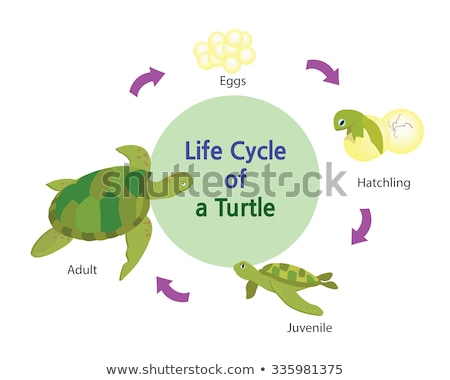 Green sea turtle life cycle Stock photo © bluering