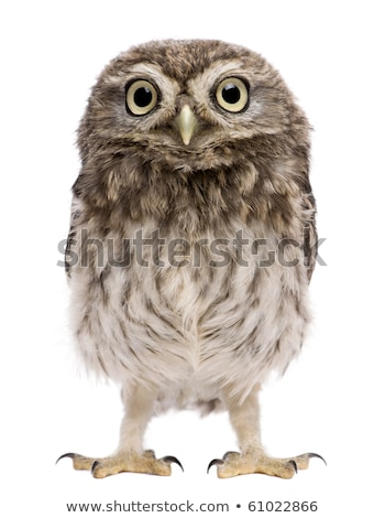 Young Little Owl on white background. Stock photo © CatchyImages