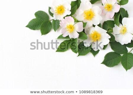 Wild rose on the table Stock photo © galitskaya