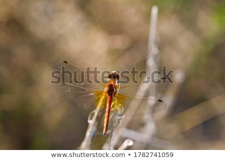 yellow winged darter stock photo © sahua