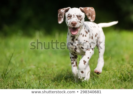 Corrida cachorro dálmata jovem jardim Foto stock © cynoclub