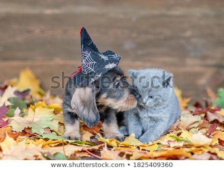 Halloween Kitten Stock photo © pcanzo