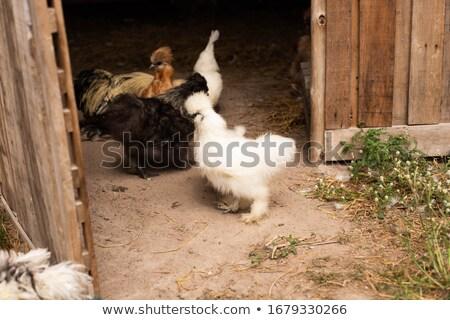 ふわっとした 鶏 かわいい シェル 卵 ストックフォト © taden