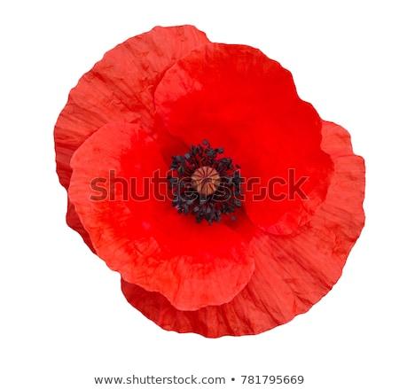 közelkép · pipacs · rügy · virág · levél · szépség - stock fotó © devon