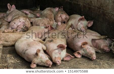 Schwein Nachmittag Bauernhof Leben Tier Stock foto © latent