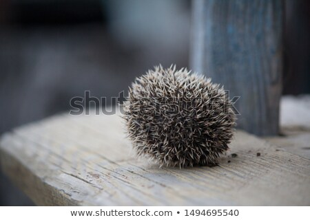 Stock photo: hedgehog curled closeup