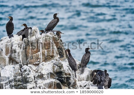 Cormorants birds on rock Stock photo © smithore
