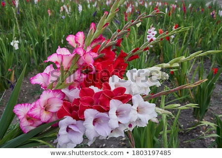 Gladiolus field Stock photo © bdspn
