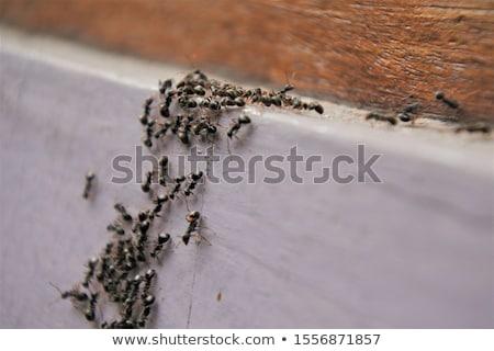Negro hormiga jardín hierba escalada verde Foto stock © Anterovium
