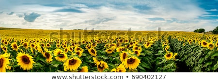 Sunflowers field by summertime. Stock photo © lypnyk2