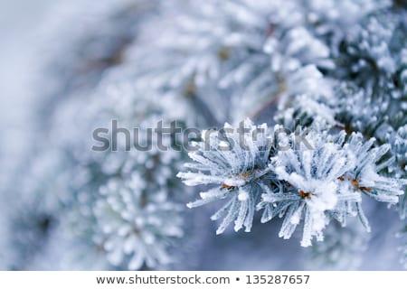 Kék karácsony fehér fagy ágak lucfenyő Stock fotó © Valeriy