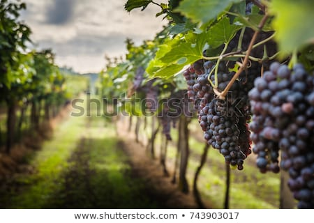 vineyard in tuscany ripe grapes stock photo © photocreo