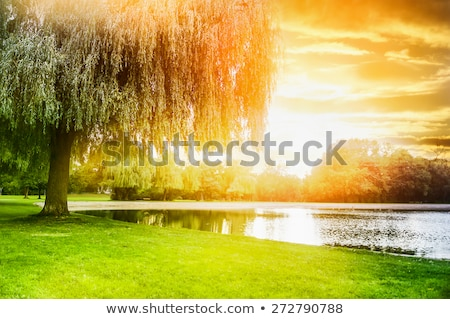willow tree by the pond stock photo © hanusst