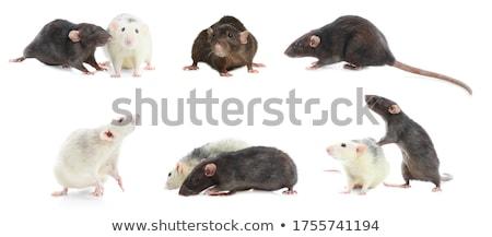 weinig · grijs · muis · geïsoleerd · witte · baby - stockfoto © bluering