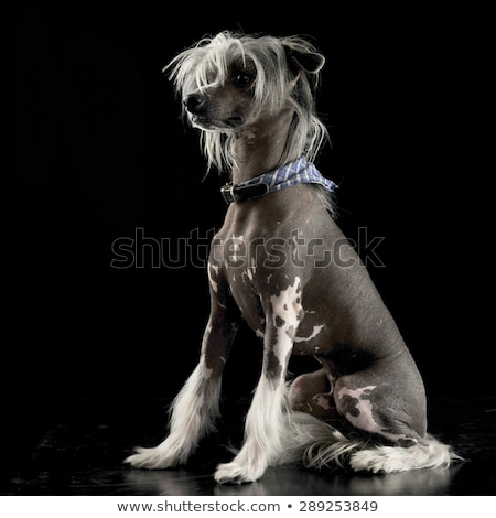 very cute chinese crested dog sitting in black background stock photo © vauvau