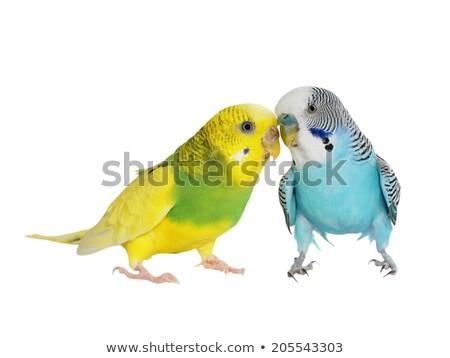 Indigo Budgerigar parrot  Stock photo © mady70