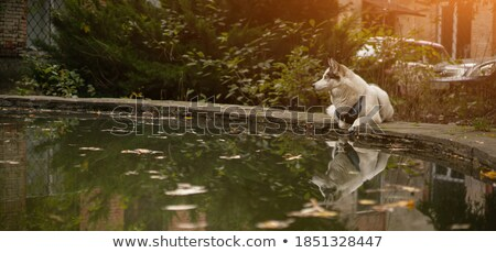 Dog walking at edge of pool Stock photo © IS2