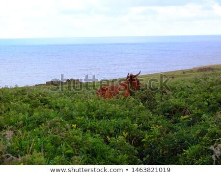 Inekler Paskalya Adası okyanus Şili çim Stok fotoğraf © daboost