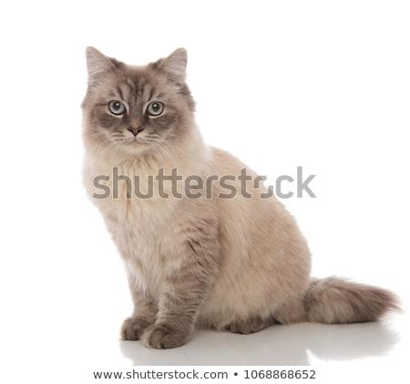 Aranyos szürke ülő macska kék szemek néz Stock fotó © feedough