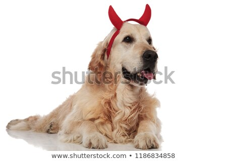 panting devil labrador lies and looks to side Stock photo © feedough