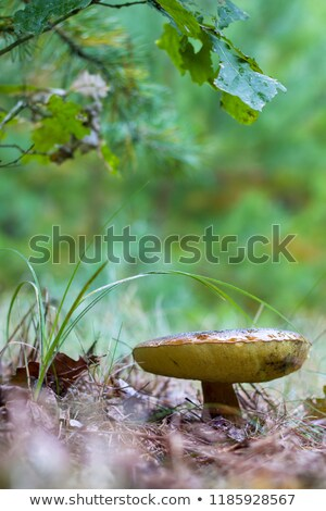 old cep mushroom grow under oak Stock photo © romvo